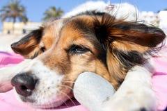 Hund mit Stein Stockfotografie