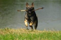 Hund mit Steuerknüppel. stockbilder