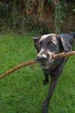 Hund mit Steuerknüppel lizenzfreies stockfoto