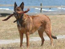 Hund mit Steuerknüppel in den Zähnen Lizenzfreies Stockfoto