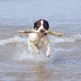 Hund mit Stock im Wasser Stockbilder