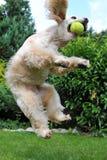 Hund mit Tenniskugel Lizenzfreie Stockfotos