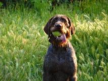Hund mit Tenniskugel stockfotografie
