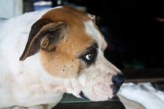 Hund mit traurigen Augen Stockfoto