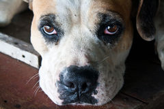 Hund mit traurigen Augen Stockbild