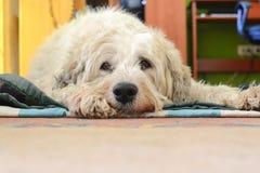 Hund mit traurigen Augen Lizenzfreie Stockfotos