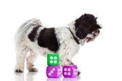 Hund mit würfelt lokalisiert auf weißem Hintergrund Lizenzfreie Stockfotos