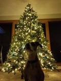 Hund mit Weihnachtsbaum lizenzfreies stockbild