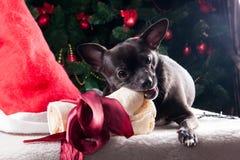 Hund mit Weihnachtsknochengeschenk mit Weihnachtsbaum Stockfotografie