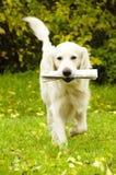 Hund mit Zeitung Stockfotografie