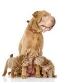 Hund mit zwei sharpei Welpen und und ihre erwachsene Mutter. Lizenzfreie Stockbilder