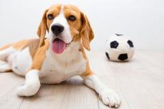 Hund nära den favorit- leksaken arkivfoto