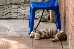 Hund, når uppvisning Fotografering för Bildbyråer