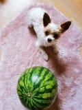 Hund nahe bei einer enormen Wassermelone stockbilder