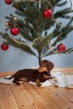 Hund nahe dem Weihnachtstannenbaum Lizenzfreie Stockbilder
