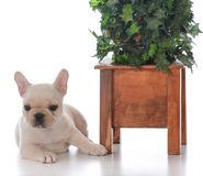 Hund neben Weihnachtsbaum Lizenzfreies Stockfoto