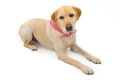 hund ner labrador som lägger retrieveryellow Arkivbilder