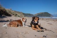 Hund Neuseelands Huntaway am Strand nachdem dem Zurückziehen von 10 Jahren das Vollzeitschafin herden leben bearbeitend stockfotos