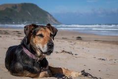 Hund Neuseelands Huntaway am Strand nachdem dem Zurückziehen von 10 Jahren das Vollzeitschafin herden leben bearbeitend stockbilder