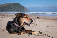 Hund Neuseelands Huntaway am Strand nachdem dem Zurückziehen von 10 Jahren das Vollzeitschafin herden leben bearbeitend lizenzfreie stockfotografie