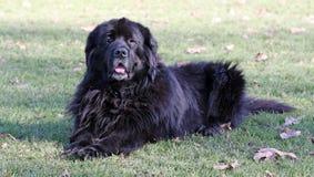 hund newfoundland royaltyfria bilder