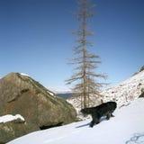 hund newfoundland Royaltyfri Bild