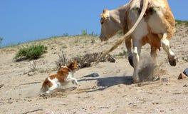 Hund nimmt eine Kuh in Angriff Stockbilder