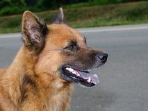 Hund nio gamla månader, thai hundstående Royaltyfri Bild