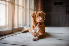 Hund Nova Scotia Duck Tolling Retriever, die am Fenster auf einem Bretterboden liegt lizenzfreie stockfotos