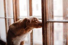 Hund Nova Scotia Duck Tolling Retriever som ut ser fönstret Royaltyfria Foton