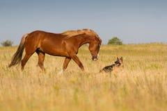 Hund och häst Fotografering för Bildbyråer