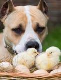 Hund och hönor Arkivfoton