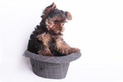 Hund och hatt Arkivbilder
