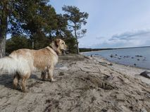 Hund och hav royaltyfria bilder