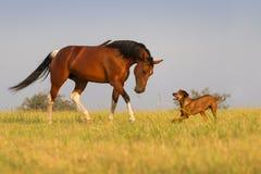 Hund och häst Royaltyfri Fotografi