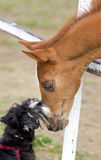 Hund- och hästförälskelse Royaltyfri Bild