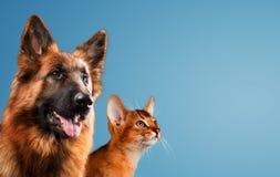 Hund och katt tillsammans på blå bakgrund royaltyfri fotografi