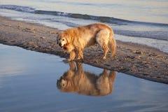 Hund och reflexion Fotografering för Bildbyråer