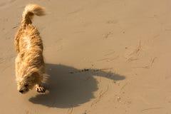 Hund på den blåsiga stranden Arkivbilder
