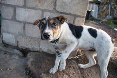 Hund på den chain ståenden Arkivfoto