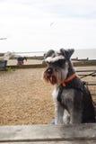 Hund på den whitstable stranden Arkivbilder