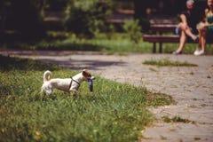 Hund på en gå som spelar med en leksak i parkera Arkivbild