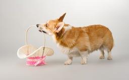 Hund på en grå bakgrund i studion som skjuter den welsh corgipembroken Arkivfoto