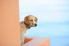 Hund på en grekisk ö Santorini Royaltyfri Fotografi