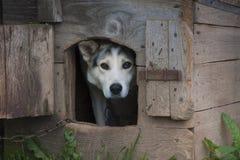 Hund på en kedja som kikar ut ur en trähundkoja Royaltyfri Bild
