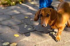 Hund på en koppel i parkera Arkivfoton