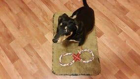 Hund på en matta Arkivbilder