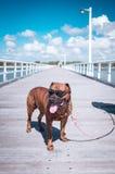 Hund på en pir Royaltyfria Bilder