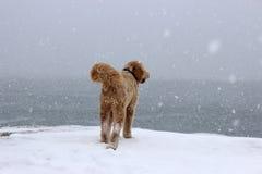 Hund på en snöig dag Royaltyfria Foton