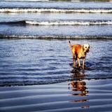 Hund på en strand Arkivfoto